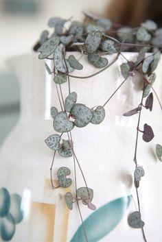 2 - Ceropegia Gênero de plantas da família Apocynaceae, reúne espécies como a Ceropegia woodii, chamada popularmente pelo sugestivo nome de corações emaranhados. Esta trepadeira pendente e muito delicada pode ser cultivada em vasos suspensos protegidos do sol direto.