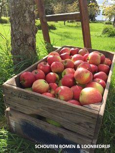 Appeloogst van een oude hoogstam appelboom/ fruitboom uit het assortiment van Schouten Bomen & Loonbedrijf Cottage, Cottages, Cabin, Cabins