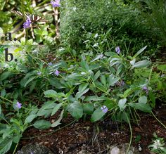 Porterweed shrub attracts butterflies and likes shade. Florida Native Plants Nursery
