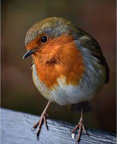 New Robin Bird Tattoo Tatoo Ideas All Birds, Cute Birds, Pretty Birds, Beautiful Birds, Robin Bird Tattoos, Tattoo Bird, Robin Tattoo, Animals And Pets, Cute Animals