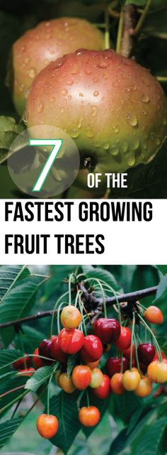 7 Of The Fastest Growing Fruit Trees Making DIY Fun DIY fastest Fruit Fun Growing Making Tree Tree art Tree design Tree landspacing Tree to plant Trees