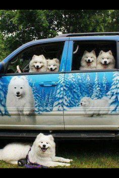 22 Samoyed Saturday Dog Samoyed Photos Who doesnt love cute fluffy dogs and are some of the cutest. Funny Animal Pictures, Cute Pictures, Funny Animals, Cute Animals, Random Pictures, Funny Car Memes, Funny Dogs, Cute Puppies, Cute Dogs