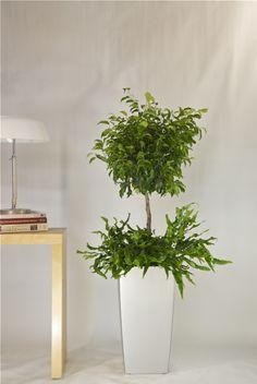 Ficus Benjamina from Houston Interior Plants