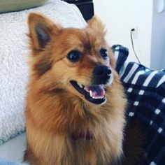 Meet Mars, an adoptable Pomeranian looking for a forever home. If you're looking for a new pet to adopt or want information on how to get involved with adoptable pets, Petfinder.com is a great resource.