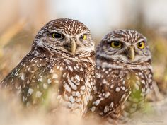 https://flic.kr/p/N1zZyy | Burrowing Owl | Burrowing Owl