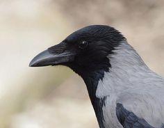 Hooded Crow  Photo by Cristian Mihai