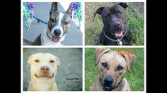 EMERGENCY FALLEN RESCUE DOGS 911 by Dawn CardinalPLEASE help. I am begging the rescue community for help with these dogs. Dino, Diamond, Gambit, and Tammy are all in training camps across New England. Prior fundraising efforts were helpful but goals were not even 50% reached & I can no longer ... ... See the whole story