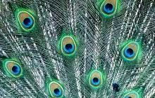 Branching and Concentric Circles Peacock Feathers Patterns in Nature