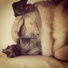 Pugs are professional sleepers! Fu Dog, Dog Cat, Pug Love, I Love Dogs, Old Pug, Cute Pugs, Cute Creatures, Dogs And Puppies, Doggies