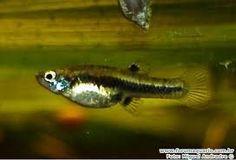 Peixemosquito