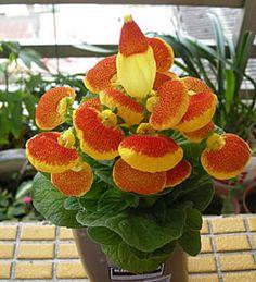 Calceolaria o como vulgarmente la conocemos también zapatos de la virgen, planta muy extensa con más de 300 especies localizadas en México y la Patagonia.