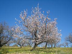 Die Mandelblüte auf Mallorca. 7 Gründe warum sich Mallorca auch zur Nebensaison lohnt!