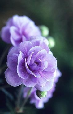 Hardy Geranium ~  'Summer Skies' ~ beautiful double flowers, slow to establish, sun to partial shade, do not water foliage. hardy to -20 °F ~ link is photo only