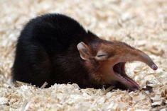 A yawning elephant shrew! Strange Animals@StrangeAnimaIs Twitter