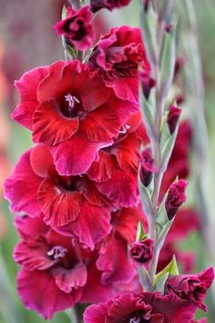 Glorious Gladiolus ~ Dreamy Nature