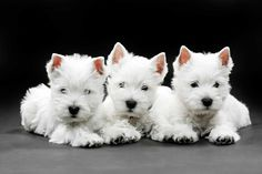 Three West Highland White Terrier Puppies                                                                                                                                                                                 More