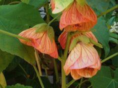 Abutilon hybridum - Flowering Maple, Albution, Chinese Lantern, Chinese Bell FlowerFlowers may be red, yellow, pink, orange or peach