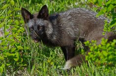 Photo Silver Fox by Barry Giles on 500px