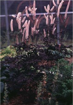 Black Snakeroot. Height: 4-7 Feet Spread: 3-4 Feet partial-full shade. In the fall, the long bottlebrush flower spikes of this plant give it its height and erect form. It performs wonderfully when planted as a woodland border as it is very shade tolerant. Divisions can be made in early spring. Plant goes well with: Rodgersia, Ligularia, Astilbe, gold-leafed hostas and ferns. has very dark, purplish-black leaves and pinkish-white blossoms. resists deer and rabbits.