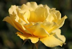An almost fully open yellow rose. Spring 2012