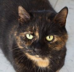 Trixie is an adoptable Tortoiseshell Cat in Milford, PA. Mostly black with some brown and tan, this pretty 7 year old tortie with very light green eyes has a laid-back mellow personality. While she li...