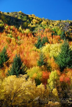 spectacular Autumn colour contrasts with blue sky in Arrowtown New Zealand - intense spectacular fall color on the hills..