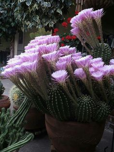 Echinopsis eyriesii <3 Visit •••► Cactus Garden •••