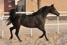 AA Black Diamonds (Ali Nefous x Hallanys Calypso) 2003 black SE mare bred by AAA Arabians -  Strain: Dahman, Sabah Family