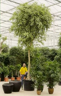 Trees In Pots Google Search Potted Pot Plants