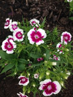 dianthus - lovely in cocktails and available from greensofdevon.com