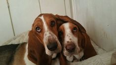 Here's why every basset owner is all about that bass