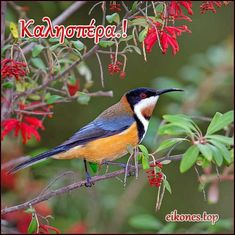 rhamphotheca: fairy-wren: Eastern Spinebill (photo by aaardvaark)i s a species of honeyeater found in SE AU in forest & woodland areas, as well as gardens in urban areas of Sydney & Melbourne: around 15 cm long Small Birds, Colorful Birds, Little Birds, Pretty Birds, Love Birds, Beautiful Birds, Birds 2, Wild Birds, Beautiful Pictures