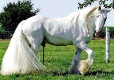 Beautiful white horse with braided mane.