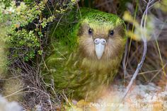 The kakapo, a critically endangered nocturnal, flightless parrot that lives in New Zealand.