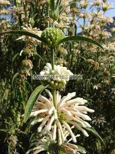 "Leonotis leonurus ~Wild Dagga ""Alba""~ I like this better than the orange variety! :)"