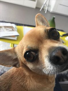 Chihuahua begging