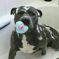 Uplifting So You Want A American Pit Bull Terrier Ideas. Fabulous So You Want A American Pit Bull Terrier Ideas. Cute Baby Animals, Animals And Pets, Perros Pit Bull, Cute Puppies, Cute Dogs, Sweet Dogs, Bull Terrier Dog, Terrier Mix, Beautiful Dogs