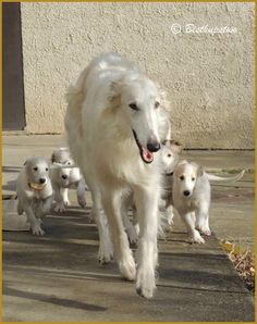 Borzoi mama and pups .