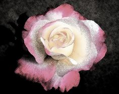 Soft Illustration of Pink Rose on Black by Mary Sedivy.