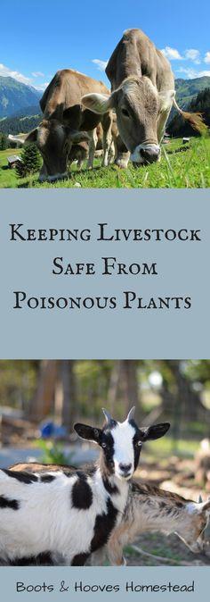 Keeping Livestock Sa