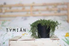 Velký bylinkový průvodce aneb co pěstovat na balkóně: Tymián Pesto, Spices, Herbs, Plants, Food, Fitness, Balcony, Spice, Essen