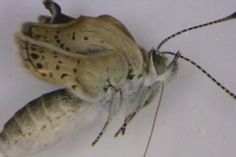 Mutant Butterflies Found After Fukushima Nuclear Disaster In Japan (VIDEO)  Posted: 08/14/2012 7:05 pm Updated: 08/15/2012