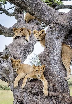 Lion tree ~ this is where baby lions come from! When they're ripe, they just fall out of the tree!