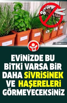 Evinizde bu bitki varsa bir daha sivrisinek ve zararlı böcek görmeyeceksiniz! Which plants keep insects and mosquitoes away? In this news we will talk about 7 plants that repel pests and insects. Fly Repellant, Insect Repellent, Human Heart Drawing, Ivy Geraniums, Harmful Insects, Mosquito Plants, Natural Insecticide, Rosemary Plant, Plant Breeding