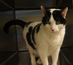 Moo is an adoptable Domestic Short Hair-Black And White Cat in Woodbridge, NJ.  ...