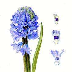 Hyacinth Carolyn Jenkins