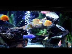 New 220 Gallon turtle and cichlid aquarium - YouTube Cichlid Aquarium, Oscar Fish, African Cichlids, Fish Tank, Community, American, Turtle, Google Search, Youtube