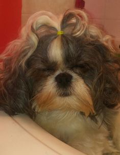 Waddles falling asleep while I curled her hair & played with her hair she was so relaxed! Shih Tzu #