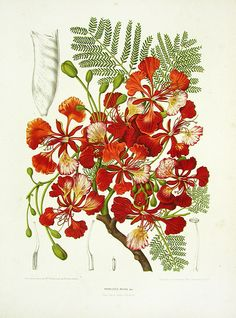 Poinciana Regia (Royal Poincetta or Flamboyant Tree) - Berthe Hoola van Nooten Tropical Prints 1863