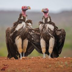 Lappet faced vultures